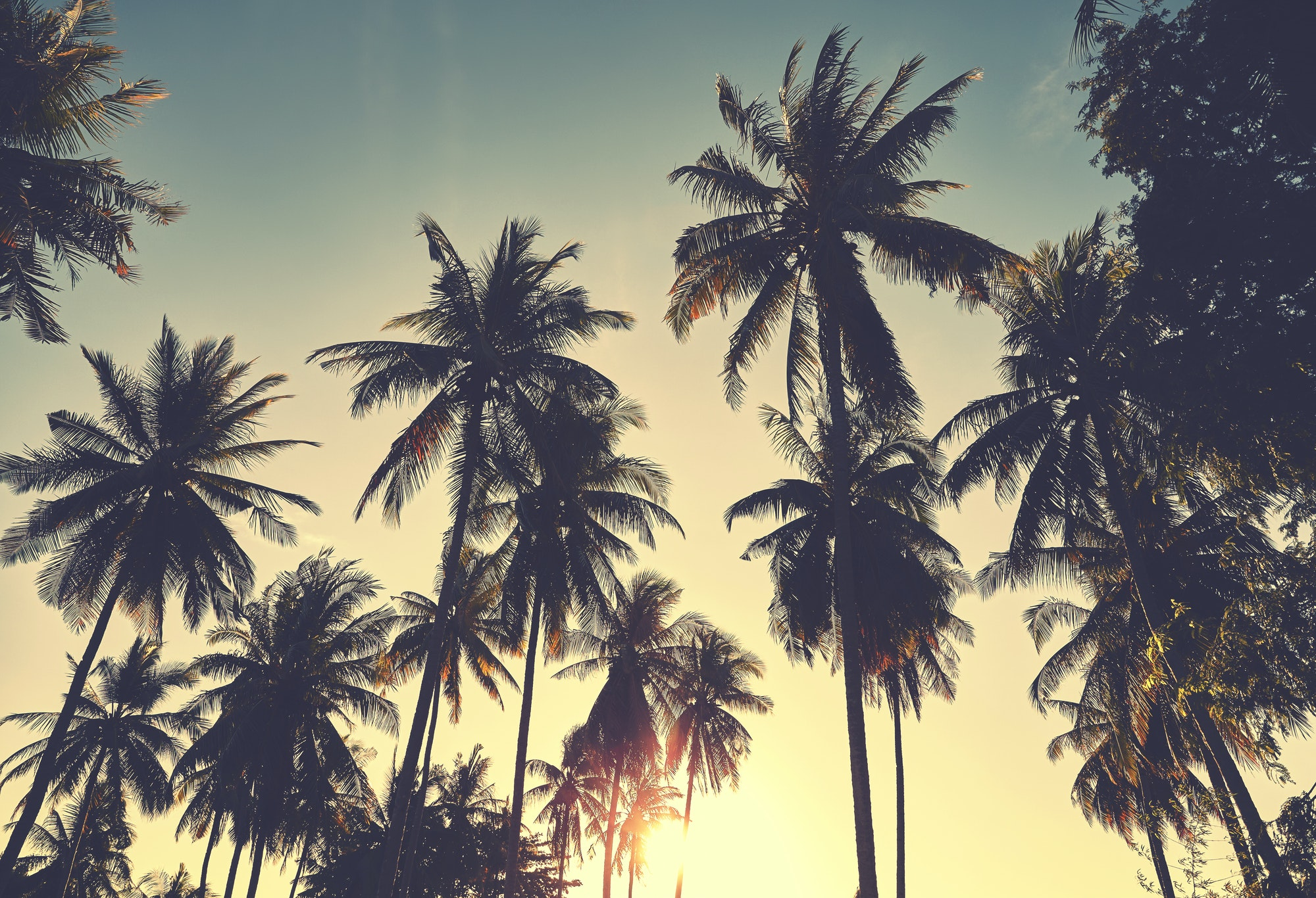 Coconut palm trees silhouettes at sunset. Russell Brooks